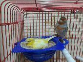 طيور كناري منتجه