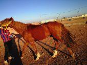 حصان عربي شعبي بيع او بدل السوم برقم الجوال