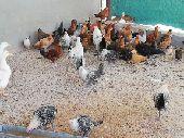 للبيع دجاج فيومي العدد 50 العمر اربعه اشهر