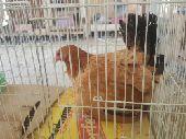 دجاجه بلدي معها 11 فرخ (تم البيع)