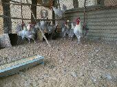دجاج فيوم مصري لون الألمنيوم