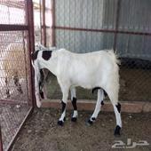 تيس هولندي عمره 7 شهور باقي ماهديته مع الحلال وصل سومه 1150