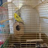 طيور بادجي حب