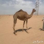 هجن بنت عماني منتج والام حره