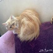 قطه شيرازي عمر 5 شهور