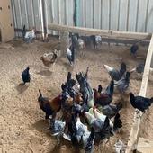 للبيع دجاج فيومي وبلدي