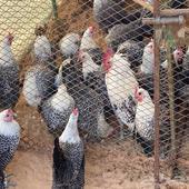 دجاج فيومي العمر من سنه الى سنتين
