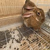 ارنب منتجة للبيع