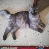 قطة انثى. للبيع 200  منتجة