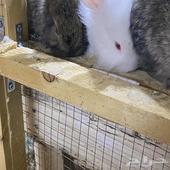 ثلاث ارانب النقور إعمارها شهر