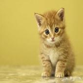 ابغى قطة للتبني
