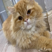 قطه انثى شيرازية