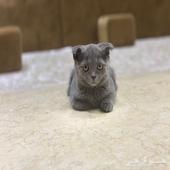 قطه سكوتش فولد بيور انثى العمر 3 اشهر