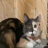 قطه انثي شيرازيه ب 400 ريال