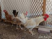 ديك ودجاجتين للبيع