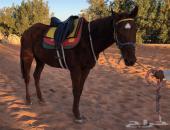 حصان ركوب للبيع