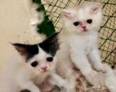 قطط بيكي فيس