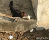 دجاج بفروخه