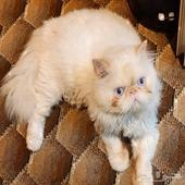 أحتاج قطة أنثى لقطتي الذكر