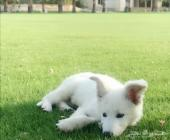 كلب من فصيلة سويس شيبرد(نفس الجيرمن شيبرد)