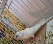 طيور بادجي صغيرة للبيع
