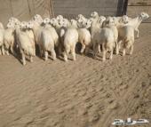 31 رخال حريه صنف مع فحلها في املج-الحدموجود