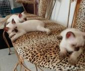 قطط سيامى بيور