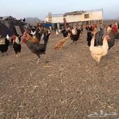 دجاج بلدي احجام جامبو