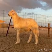 مشروع فحل حري صنف الصنف فاخر ونادر