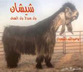 فحل عارضي خصم