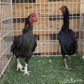 دجاج فارسي اسود