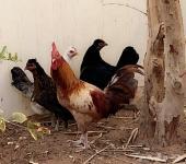 ديك ودجاج بلدي