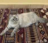 قطة هملايا حامل
