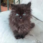 قطه - قط ذكر  العمر شهرين