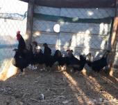 دجاج بلدي بياض أسود صك