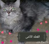 (قطه انثى شيرازيه) انباعت الله يبارك للمشتري