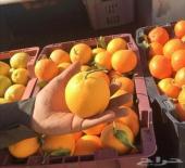 برتقال حائل ( طازج من المزرعة ) قطف اليوم