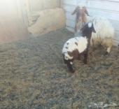 نعجه نعيميه معها خروف وتيوس