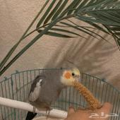 كرون parrot cockteil