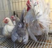 مزرعة النخيل لدجاج الزينة صيصان بولش وجابنيز