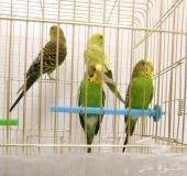 طيور حب عصافير بادجي مع القفص والاغراض