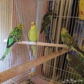 طيور الحب ( بادجي )