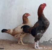 دجاج قزم كوشامو top فاخر