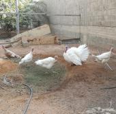 5 دجاج رومي بياضات بديكها
