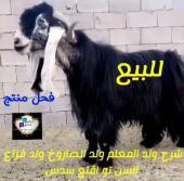 فحل عارضي خصم منتج انتاج نااادر