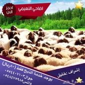 أضاحي العيد