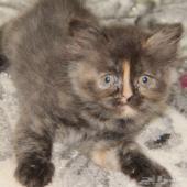قطة تورتيلا انثى بعمر شهرين