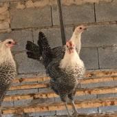 بيض دجاج فيومي مخصب