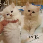 للبيع قطة انثى صغيرة