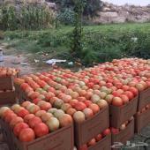 طماطم مزرعة بلجرشي